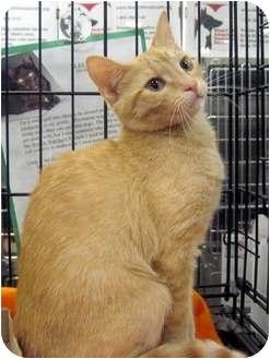 Polydactyl/Hemingway Kitten for adoption in Overland Park, Kansas - Cheetos