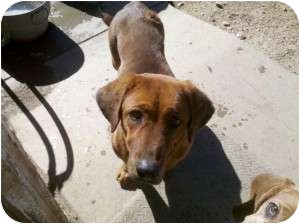 German Shepherd Dog/Basset Hound Mix Dog for adoption in Acton, California - Brownie