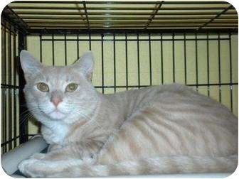 Domestic Shorthair Cat for adoption in Shelbyville, Kentucky - Bradley