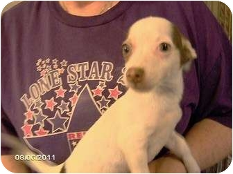 Chihuahua Puppy for adoption in Weatherford, Texas - DINO
