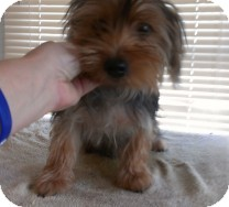 Yorkie, Yorkshire Terrier Puppy for adoption in St. Petersburg, Florida - Donald