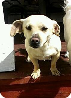 Dachshund Mix Dog for adoption in Thousand Oaks, California - Rosie