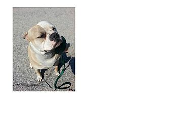 American Bulldog Dog for adoption in North Kingstown, Rhode Island - Dempsey