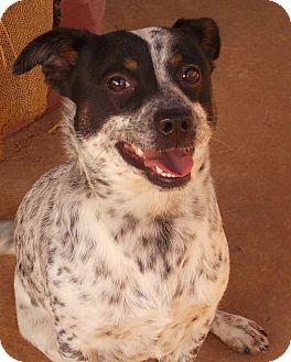 English Setter/Australian Cattle Dog Mix Dog for adoption in Muldrow, Oklahoma - Smiling Morton