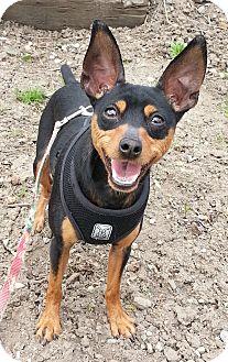 Miniature Pinscher Dog for adoption in Rigaud, Quebec - Mario