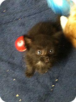 Domestic Shorthair Kitten for adoption in Island Park, New York - Hershey