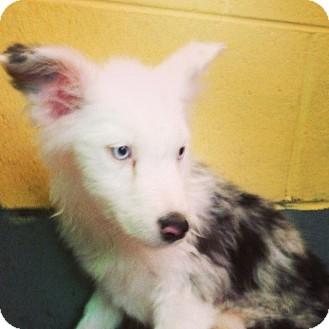 Australian Shepherd Puppy for adoption in El Segundo, California - ANNIE
