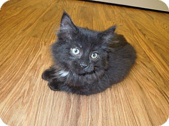 Domestic Mediumhair Kitten for adoption in Medina, Ohio - Boo Boo Kitty