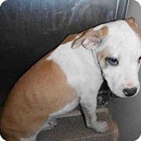 Adopt A Pet :: Piper - Seattle, WA