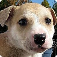 Adopt A Pet :: Baby Noelle - Oakley, CA