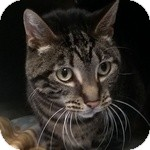 Domestic Shorthair Cat for adoption in Wheaton, Illinois - Clark