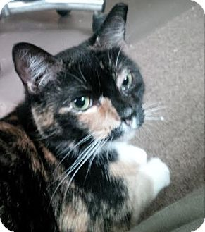 """Domestic Shorthair Cat for adoption in Plainville, Massachusetts - Dennis 2 """"Callie"""""""