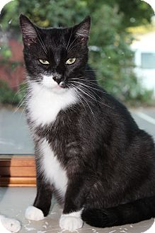 Domestic Shorthair Cat for adoption in Secaucus, New Jersey - Panchito