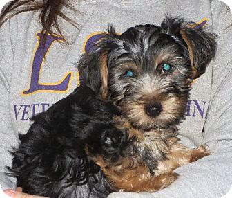 Yorkie, Yorkshire Terrier Puppy for adoption in Westport, Connecticut - Thornton