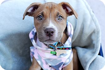 American Staffordshire Terrier/Pit Bull Terrier Mix Puppy for adoption in Detroit, Michigan - Paris-Adopted!