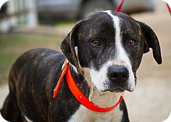 American Staffordshire Terrier/Labrador Retriever Mix Dog for adoption in Bulverde, Texas - Charlie