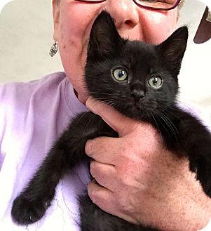 Bombay Kitten for adoption in Buffalo, New York - Misha & Monsieur: 9 weeks