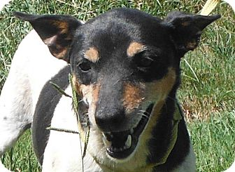 Fox Terrier (Smooth) Mix Dog for adoption in Cedartown, Georgia - 29431150