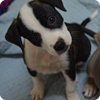 Adopt A Pet :: Baily - Burleson, TX