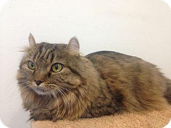 American Curl Cat for adoption in Newport Beach, California - Gypsy