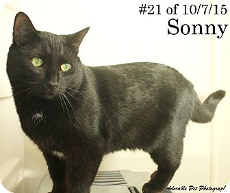 Domestic Shorthair Cat for adoption in Gaylord, Michigan - Sonny