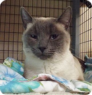Siamese Cat for adoption in Grants Pass, Oregon - Sheba