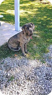 Neapolitan Mastiff Dog for adoption in Oswego, Illinois - Fiona