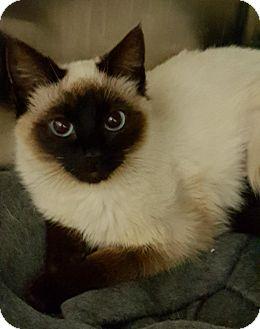 Siamese Kitten for adoption in Wayne, New Jersey - Mulan