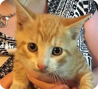 Domestic Shorthair Kitten for adoption in Patterson, New York - Dylan
