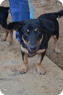 Dachshund/Terrier (Unknown Type, Small) Mix Dog for adoption in Beaumont, Texas - Zeus