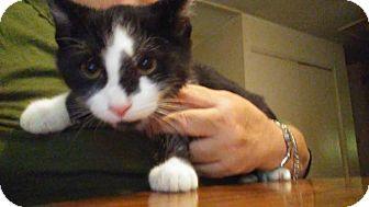 Domestic Shorthair Kitten for adoption in Columbus, Ohio - Trevor