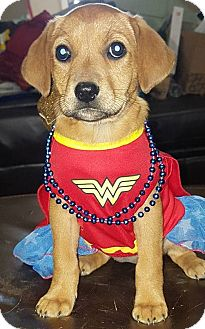 Hound (Unknown Type)/Labrador Retriever Mix Puppy for adoption in Mayflower, Arkansas - Hunny Bun