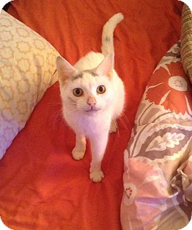 Domestic Shorthair Cat for adoption in Cumbeland, Maryland - Snowflake