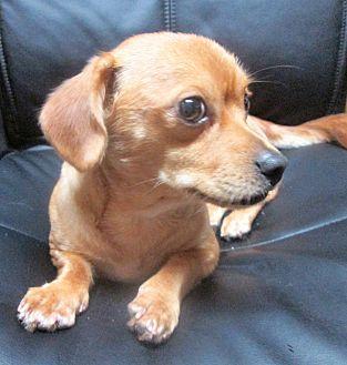 Dachshund/Pekingese Mix Dog for adoption in Trenton, New Jersey - Mumbles *ADOPTED*