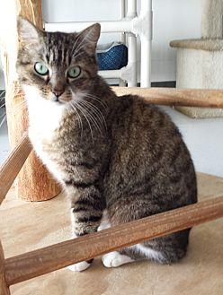 Domestic Shorthair Cat for adoption in Diamond Springs, California - Jimmy