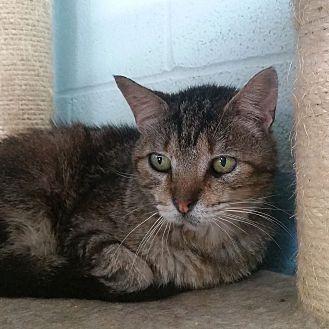 Domestic Shorthair Cat for adoption in Carencro, Louisiana - Rosie