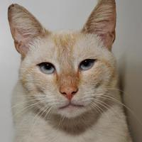 Adopt A Pet :: Mai Tai - Venice, FL