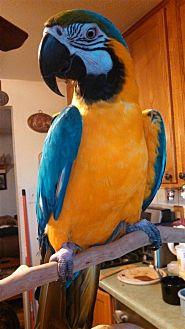 Macaw for adoption in Elizabeth, Colorado - Sylvester