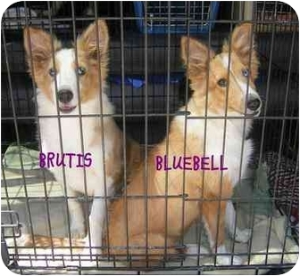 Sheltie, Shetland Sheepdog Puppy for adoption in Provo, Utah - Brutis