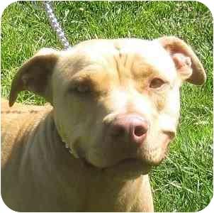 Labrador Retriever/American Pit Bull Terrier Mix Dog for adoption in Berkeley, California - Ollie