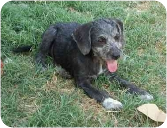 German Wirehaired Pointer Mix Dog for adoption in Sealy, Texas - Balto