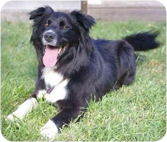 Border Collie Mix Dog for adoption in Glenrock, Wyoming - Harley