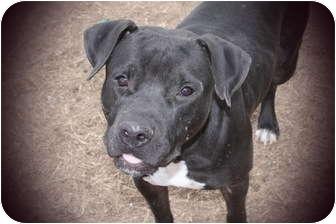 American Bulldog/Labrador Retriever Mix Dog for adoption in Statesboro, Georgia - Gideon