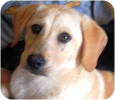 Golden Retriever/Labrador Retriever Mix Puppy for adoption in Oswego, Illinois - I'M ADOPTED Conner Linden