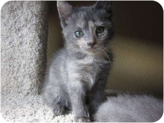 Domestic Shorthair Kitten for adoption in Davis, California - Blueberry Muffin