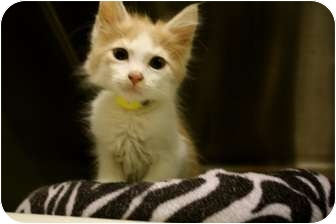 Domestic Mediumhair Kitten for adoption in Stillwater, Oklahoma - Saturn