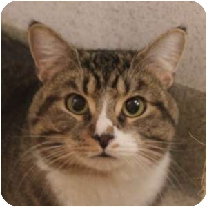 Domestic Shorthair Cat for adoption in Naperville, Illinois - Pistachio