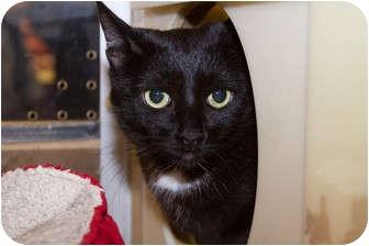 Domestic Shorthair Cat for adoption in Irvine, California - Nina