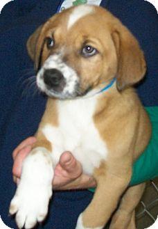 Border Collie/Labrador Retriever Mix Puppy for adoption in Grants Pass, Oregon - Bernie