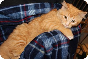 Domestic Mediumhair Kitten for adoption in Pilot Point, Texas - LOKI